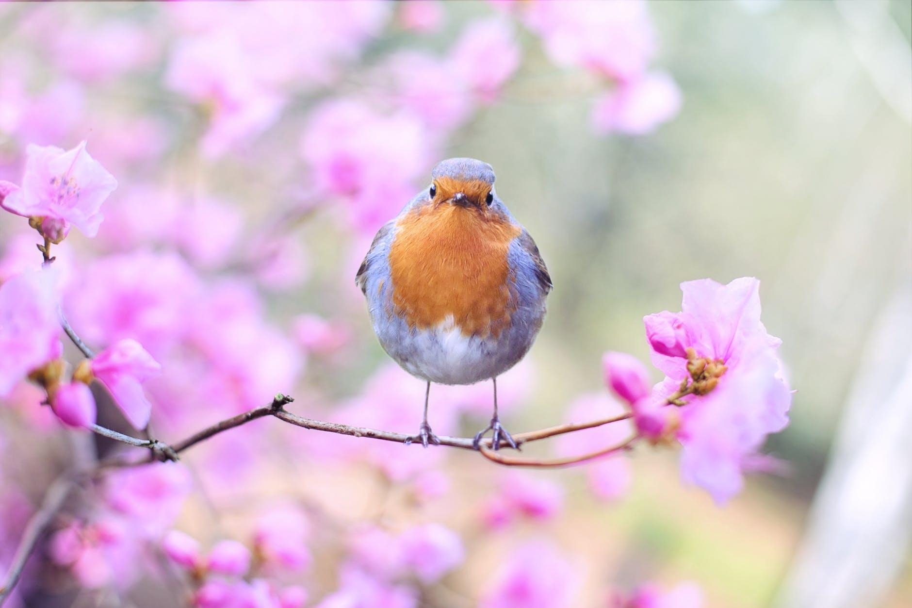 roodborstje lente