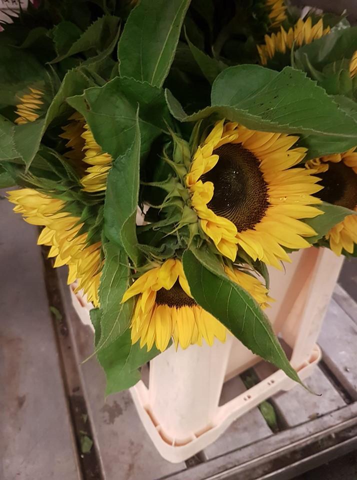 Zonnebloem verse bloemen voor bloemisten
